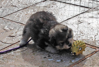 Wolf sable Finnish Lapphund puppy playing with hedgehog