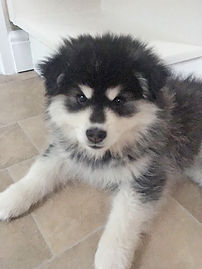 Black domino Finnish Lapphund puppy, cute and fluffy, tipped ears, 9 weeks old