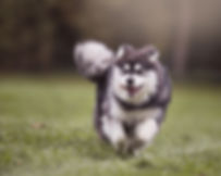 Running Finnish Lapphund puppy, tongue out, big smile, tail flying, professional pet photographer