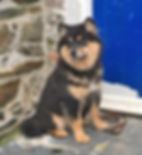 Young femalFinnish Lapphund black & tan 5 month old puppy