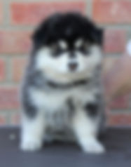 Domino Finnish Lapphund puppy