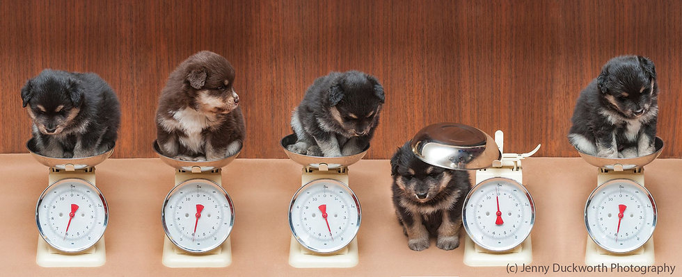 Cute fluffy Finnish Lapphund puppies sitting in weighing scales