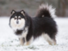 Arvo-2018 Lapphund in the snow.jpg