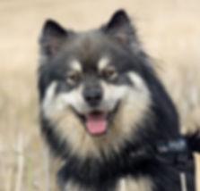 Infindigo Lintu Henkka wolf sable Finnish Lapponian Dog stud dog