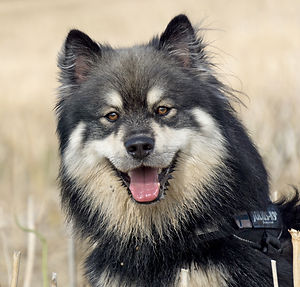 wolf sable finnish lapphund in a field.jpg