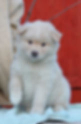 Cream Finnish Lapphund girl, puppy, bitch, cream and white, fluffy puppy, white paws