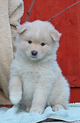 Cream Finnish Lapphund girl, puppy, bitch, cream and white, fluffy puppy, white paws