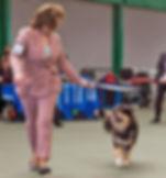 Finnish Lapphund Club champ show 2018 junior dog pink show suit