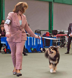 Finnish Lapphund Club champ show 2018 junior dog pink show suit