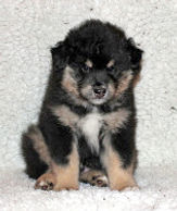 Black tan and white Thankfifi dog Mr K & Tux as puppy