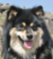 Black tri-colour Finnish Lapphund male showing ccorrect head and expression