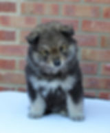 Wolf sable Finnish Lapponian Dog puppy, 6 weeks old, sittig on a white blanket with a red brick background