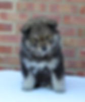 Wolf sable 6-week-old Finnish Lapphund puppy Infindigo Sisko Suvi, sitting on a table with a red brick background