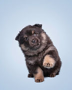 Black tan and white Lapponia Finnish Lapphund puppy