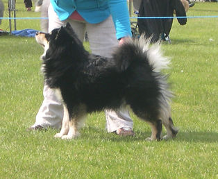 Finnish Lapphund show dog at West of England Ladies Championship Dog Show 2009 WELKS