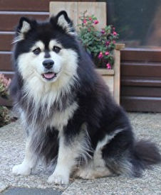 Finnish Lapphund Happy Lapp Dumbo, Arvo, from Kennel Happy Lapp, Denmark.  Netherland Junior Winne, Netherlands Champion, Benelux Winner, Benelux Junior Winner, Danish Champion, Danish Junior Champion
