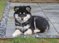Black and white Finnish Lapphund puppy