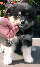 Cute Finnish Lapphund puppy, black tan and white fluffy puppy, medium size fluffy black dog with pointy ears, spitz dog, herding dog, reindeer herder, Finnish Lapponian Dog