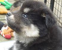 Luna Arianrhod Finnish Lapphund puppy