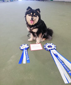Best Bitch, Best of Breed and Best in Show Finnish Lapphund bitch at Finnish Lapphund Club of Great Britain, April 2019
