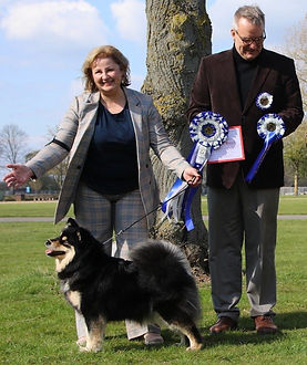 Infindigo Mailat Ulla JW winning Best in Show at Finnish Lapphund Club of Great Britain championship show April 2019