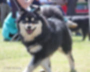 Finnish Lapphund bitch at a show in the sun
