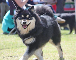 Smiling Finnish Lapphund dog