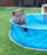 Wolf sable Finnish Lapphund puppy 10 weeks old in a blue paddling pool