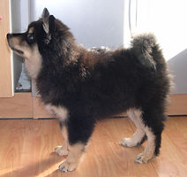 Finnish Lapphund puppy show stand