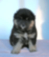 Black and tan Finnish Lapphund puppy bitch, fluffy and cute, sire Happy Lapp Dumbo, dam Black Blossom Troll Fia