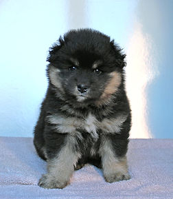 Black and tan Finnish Lapphund fluffy puppy bitch 5 weeks old
