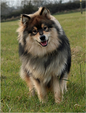 Champion Pavoskas Aly Arttu Junior Warrant Show Certificate of Merit Show Certificate of Excellence wolf sable Finnish Lapphund