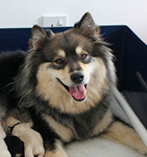 Wolf sable Finnish Lapphund female dog with cream puppies, Riemu Emmi Show Certificate of Merit and stud book number, qualified for Crufts for life at Birmingham National Championship Dog Show 2018 by winning second place in the Open Bitch class