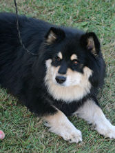 Black tan & white, black tricolour, Finnish Lapphund stud dog, international males for breeding, sire Elbereth Kimmi, dam Elbereth Onnekas ShCM, show certifcate of merit, showdo