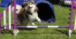 Brown and white domino Finnish Lapphund learning agility, jumping and tunnel in the sunshine