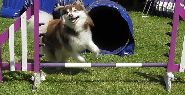Brown domino Finnish Lapphund learning agility with tunnel, dog walk, A frame and jumps