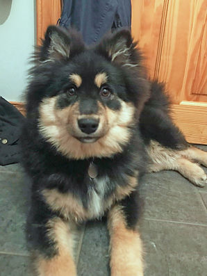 Black tri Finnish Lapphund puppy Sisko Piia, sire Shacal Mihkku of TabanyaRuu dam Infindigo Mailat Ulla Junior Warrant