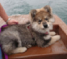Pretty wolf sable puppy bitch 13 weeks old lying in the back of a boat
