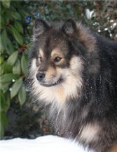 Lapinlumon Albmi, wolf sable male Finnish Lapphund, kennel Royaumes du Grand Nord, Normandy, France, sire Orso Farm Caamos, dam Lapinlumon Kiiski