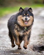 Infindigo Taysikuu Anniina - Anni - black tan & white Finnish Lapphund, photo by Adele Yuhong Liu