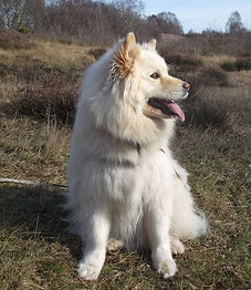 Cream Finnish Lapphund bitch off lead