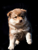 Brown wolf sable Finnish Lapphund puppy