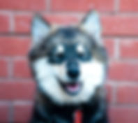 Wolf sable Finnish Lapphund puppy laughing