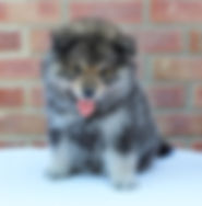 6 week old wolf sable Finnish Lapphund puppy Infindigo Sisko Kukka Nukka sitting on a table in front of a brick wall