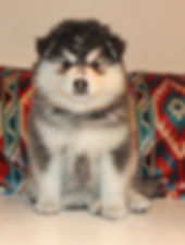 Domino grizzle black and white Finnish Lapphund puppy bitch with sideways sit and aztec print background