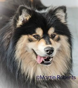 Champion Finnish Lapphund Lecibsin Salo of TabanyaRuu, Junior Warrant, Show Certificate of Merit.