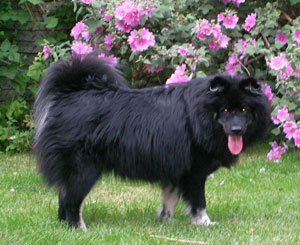 Diesel, young black and white Finnish Lapponian dog, age 1 year.jpg