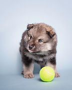 Wolf sable 6 week old Lapponia Finnish Lapphund puppy