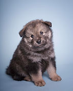 Wolf sable Lapponia Finnish Lapphund puppy