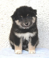 Black tricolour Finnish Lapphund puppy dog